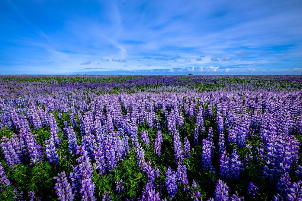 purple petaled flower field photography