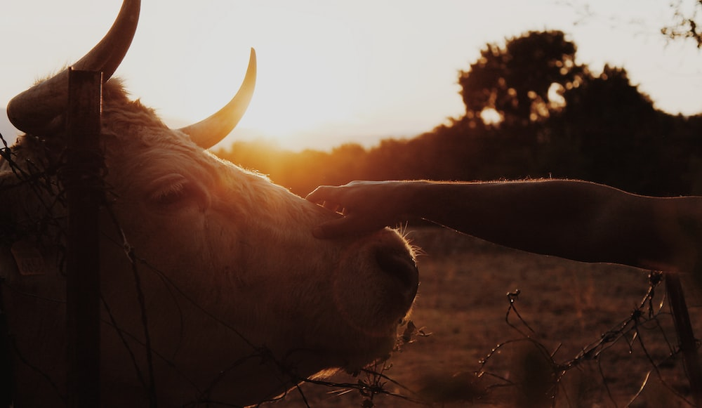 person holding cattle's head