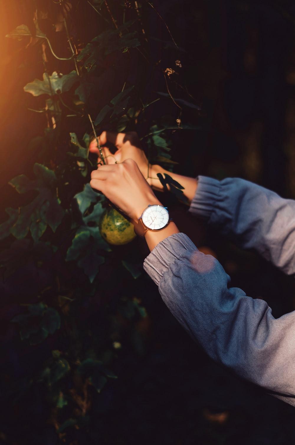 person wearing white watch picking green fruit
