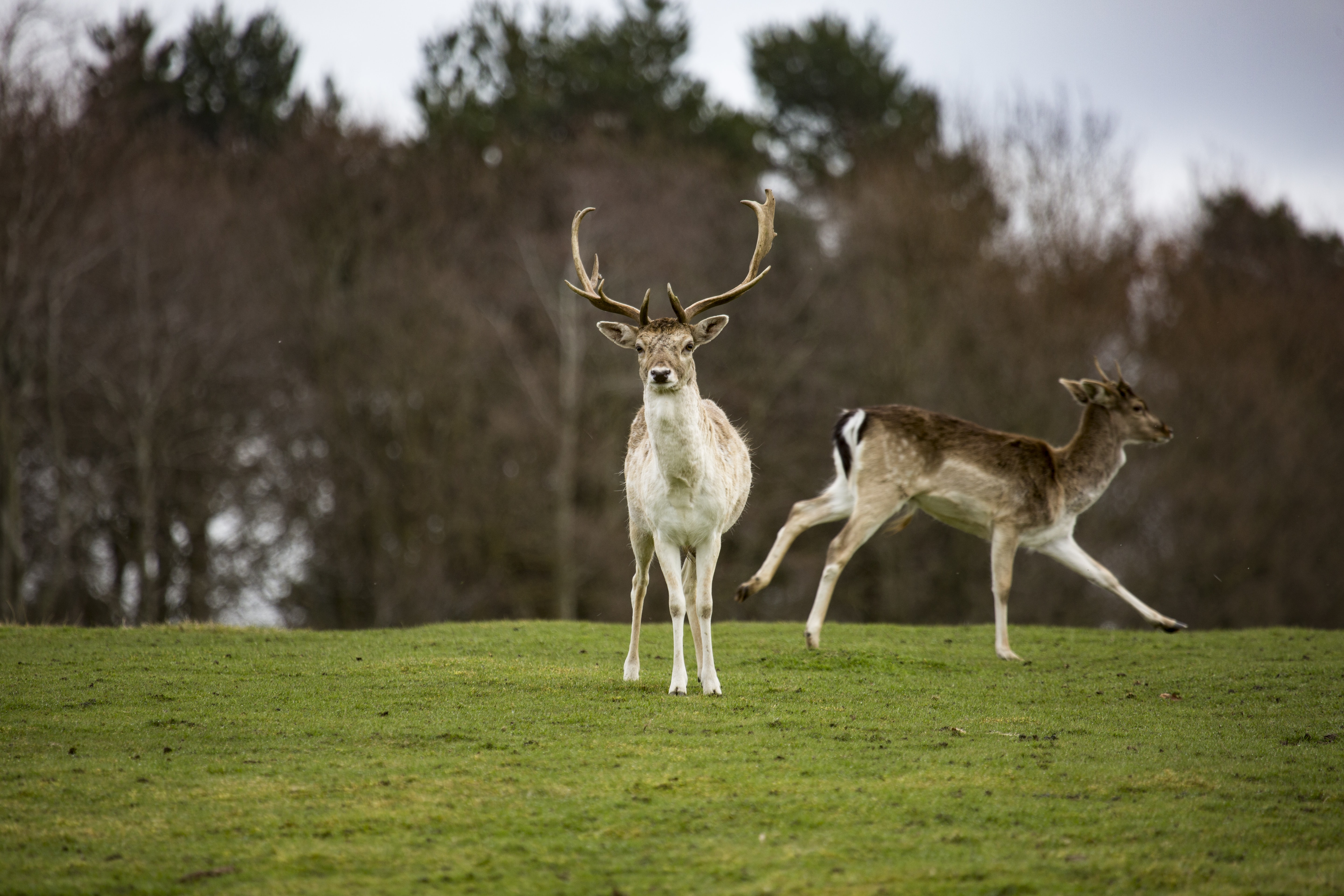 two running and standing deer on green grass field