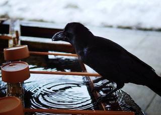 black crow in bird bath