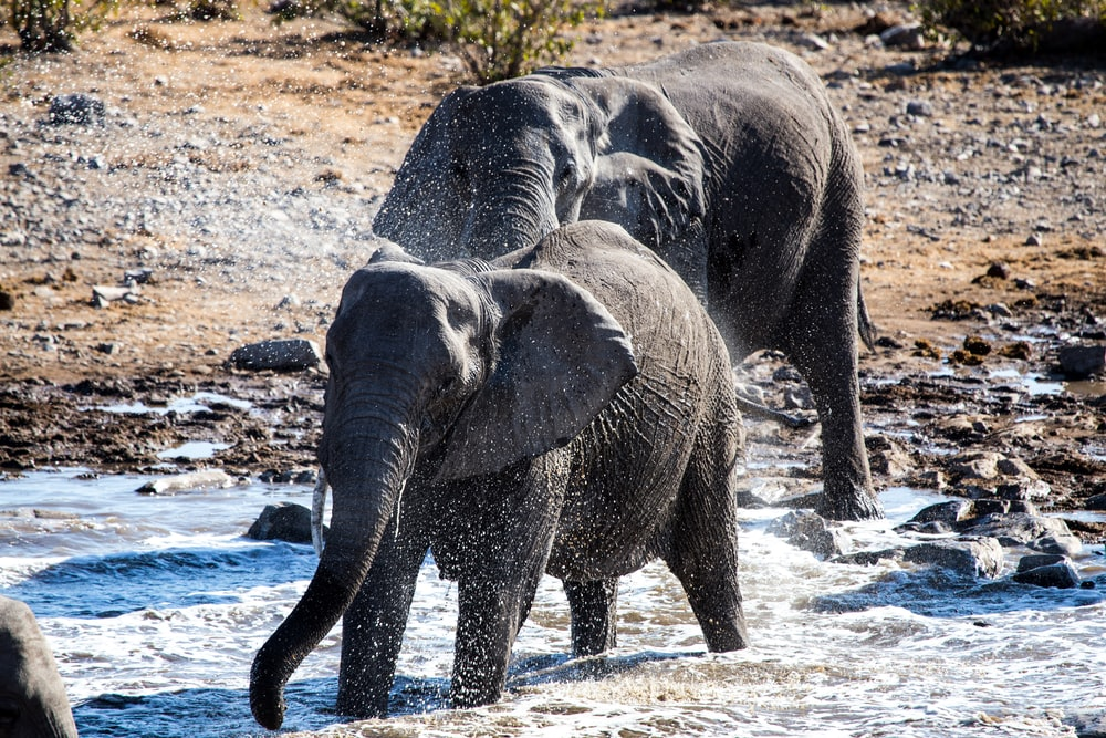 two black elephants crossing on river during daytime ]