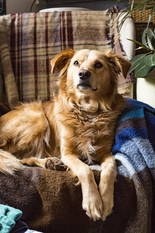 short-coated brown dog on sofa