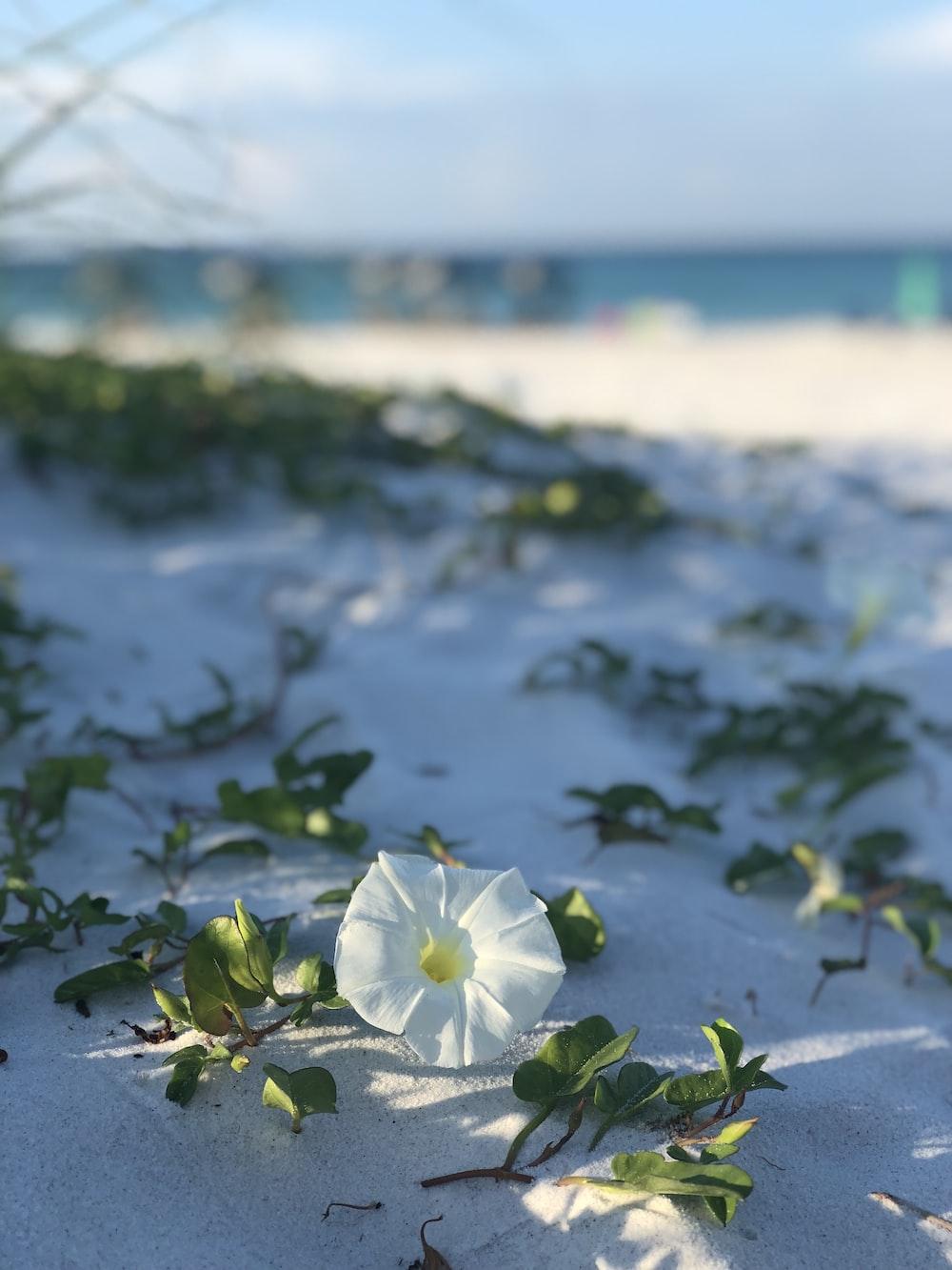 white morning glory flower in bloom