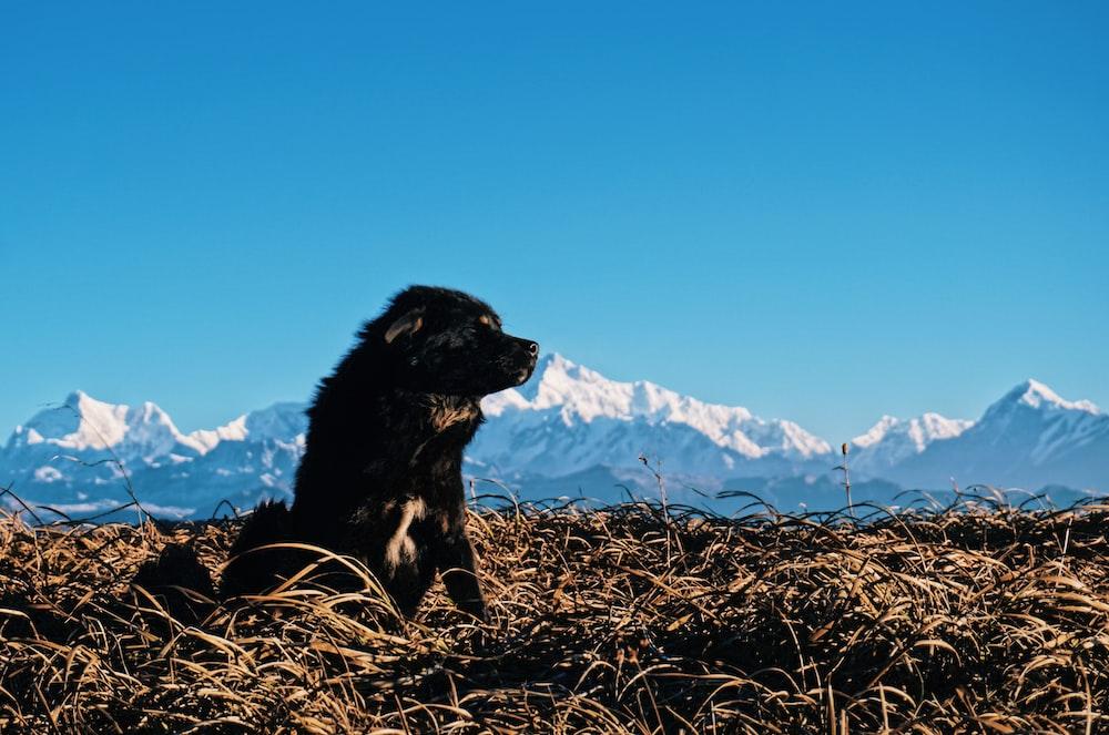 black dog sitting on brown grass