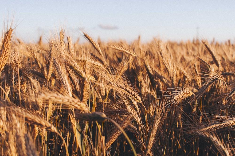 brown wheat at daytime