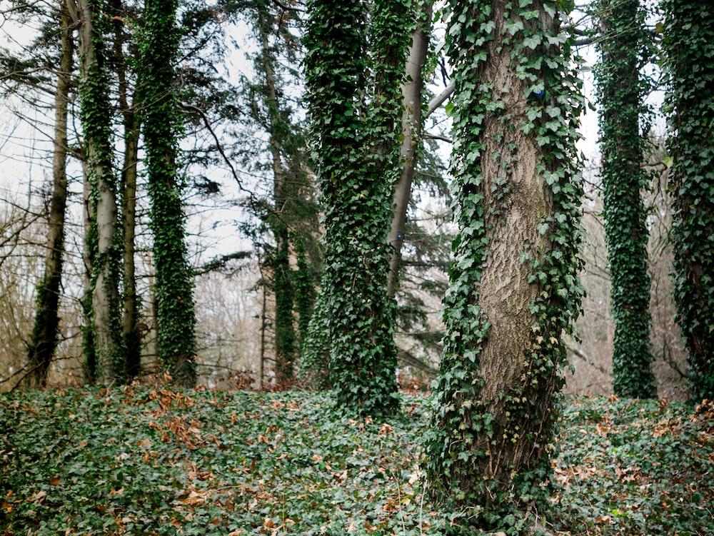 vine plants on tree trunks