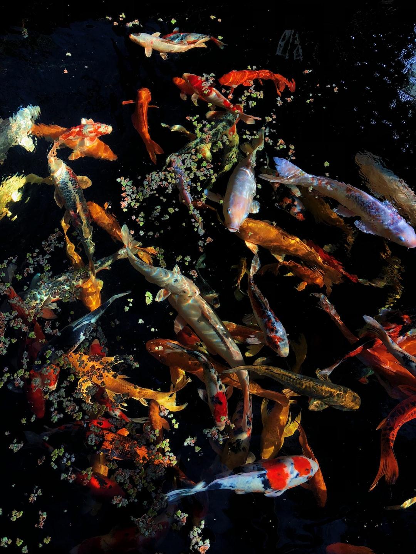 Mengenali Jenis-Jenis Ikan Koi Bagian II