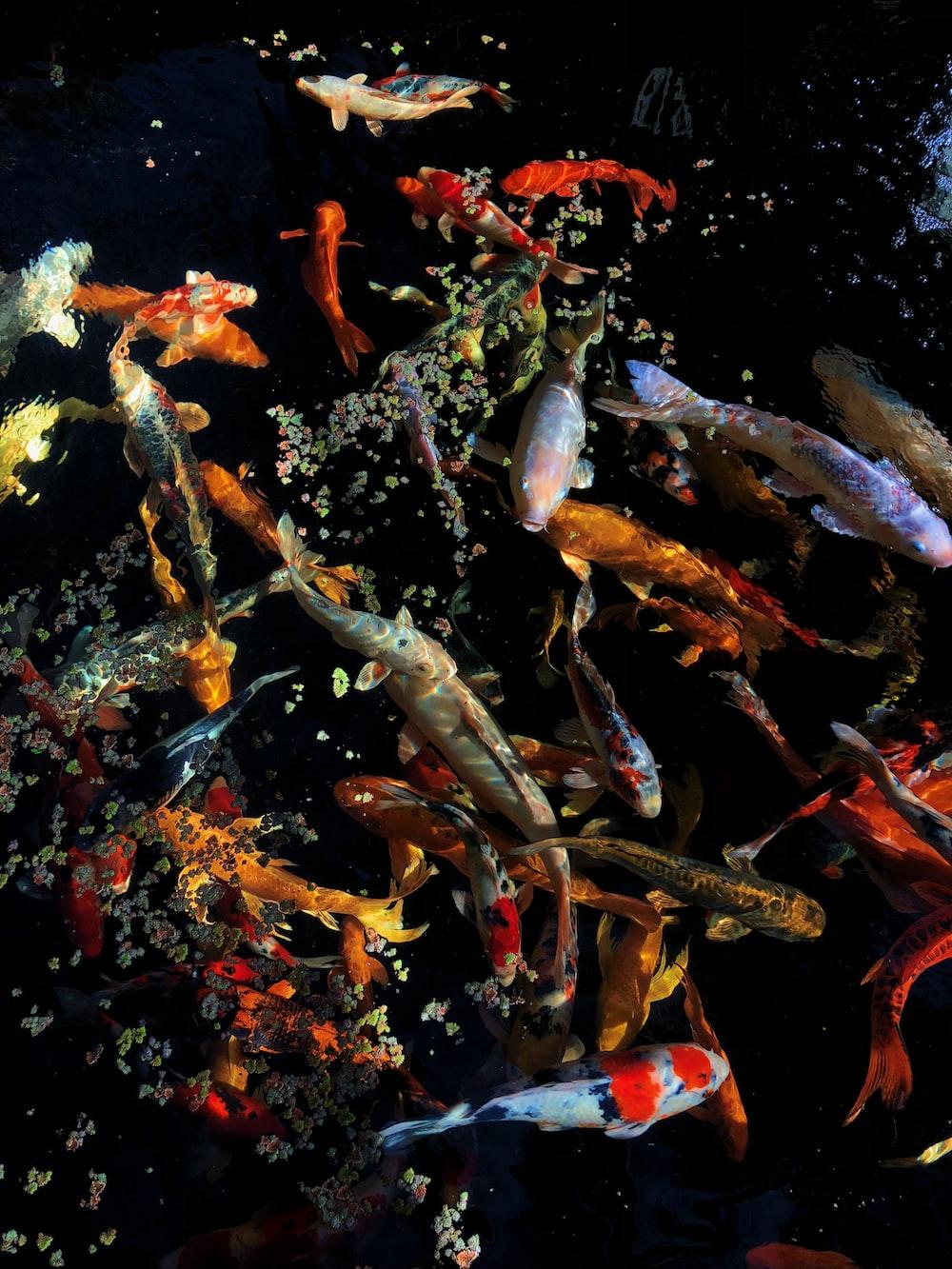 shoal of koi fish