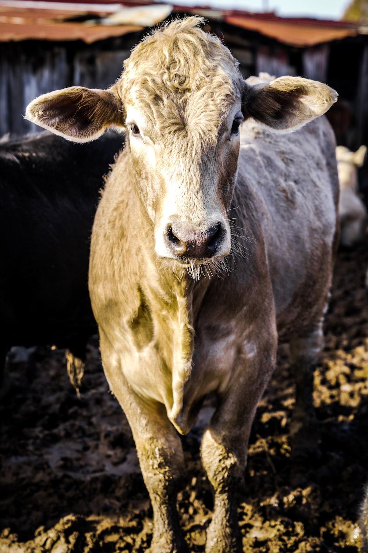 gray cow