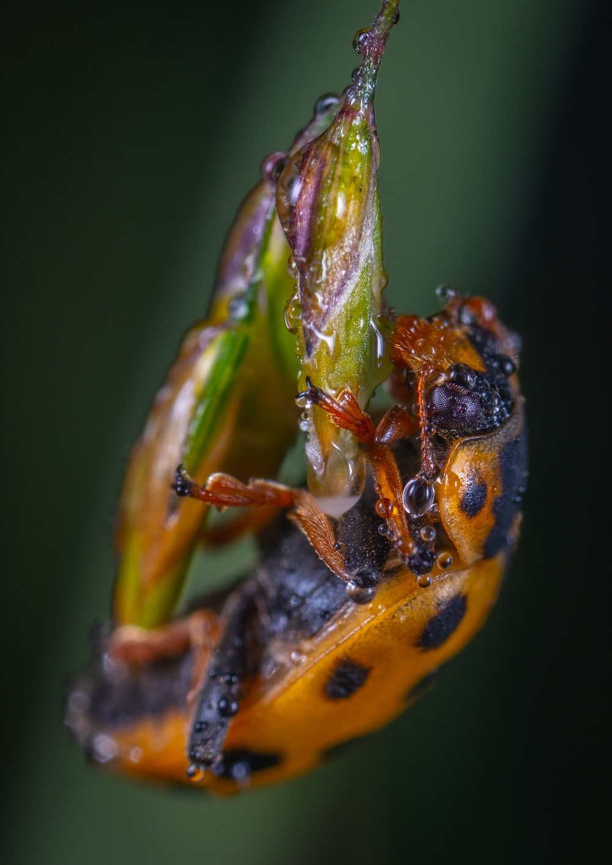 brown and black bug