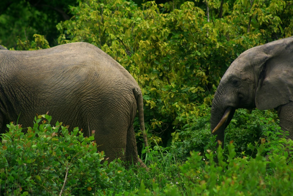 two grey elephant on green plants during daytime