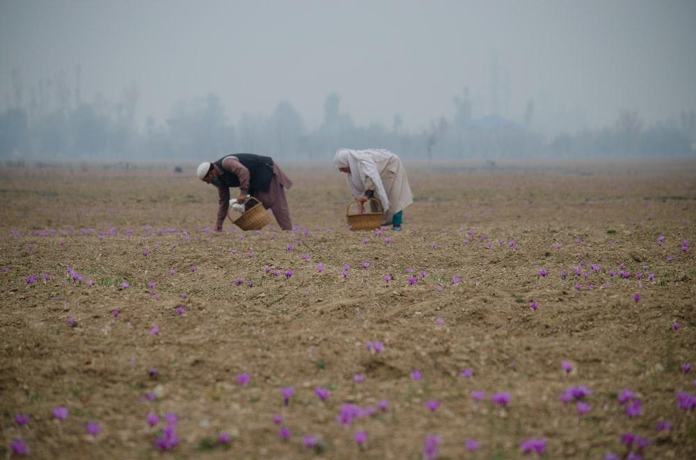 man picking lavender