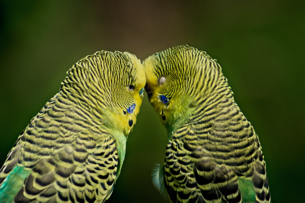 pair of green budgerigars