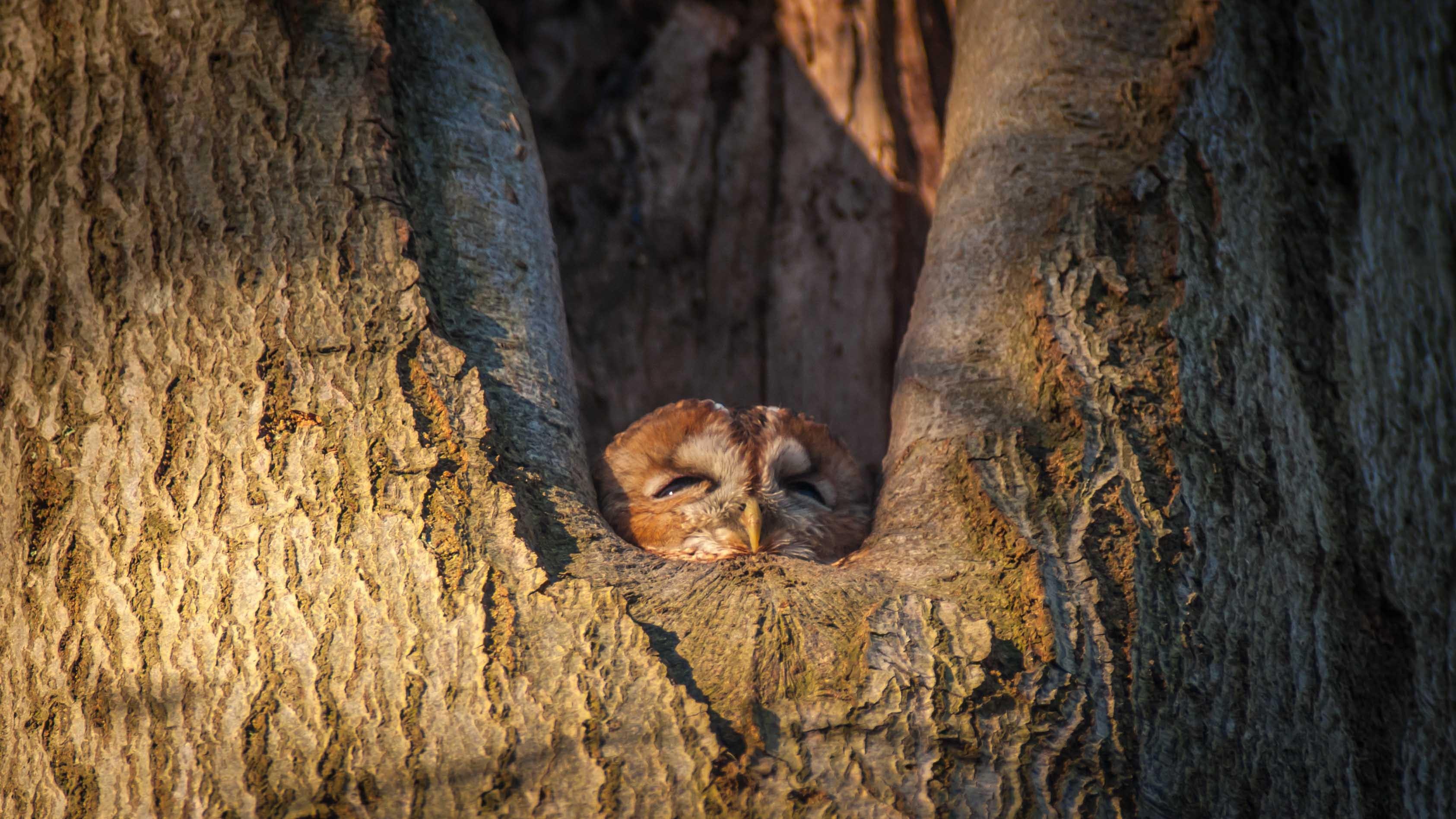 owl hiding inside tree ho9le