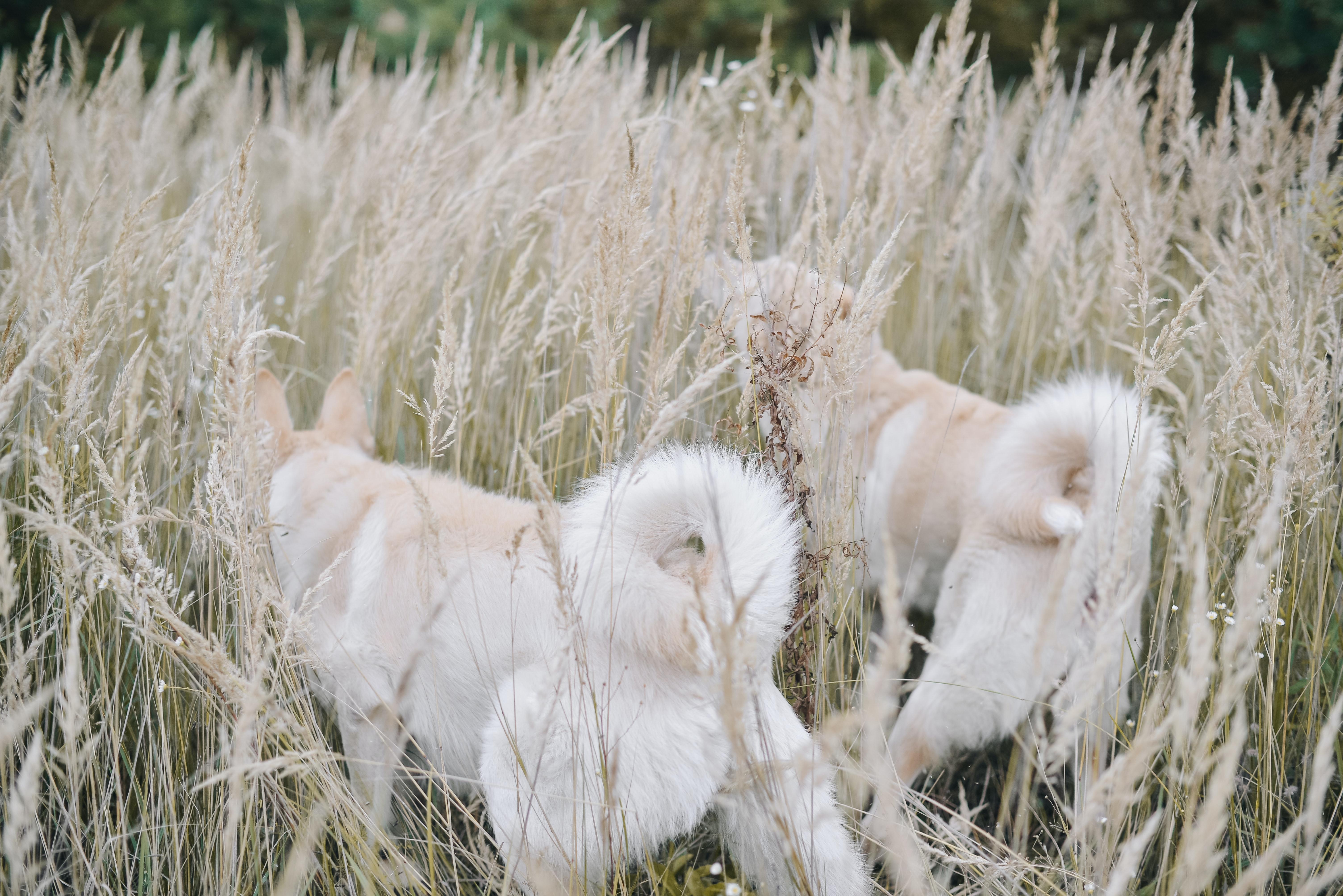 long-coated white dogs