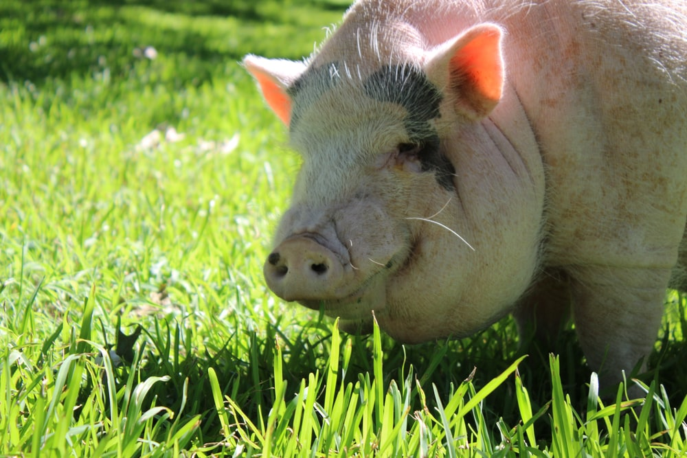 domestic pig grazing on green grass during daytime