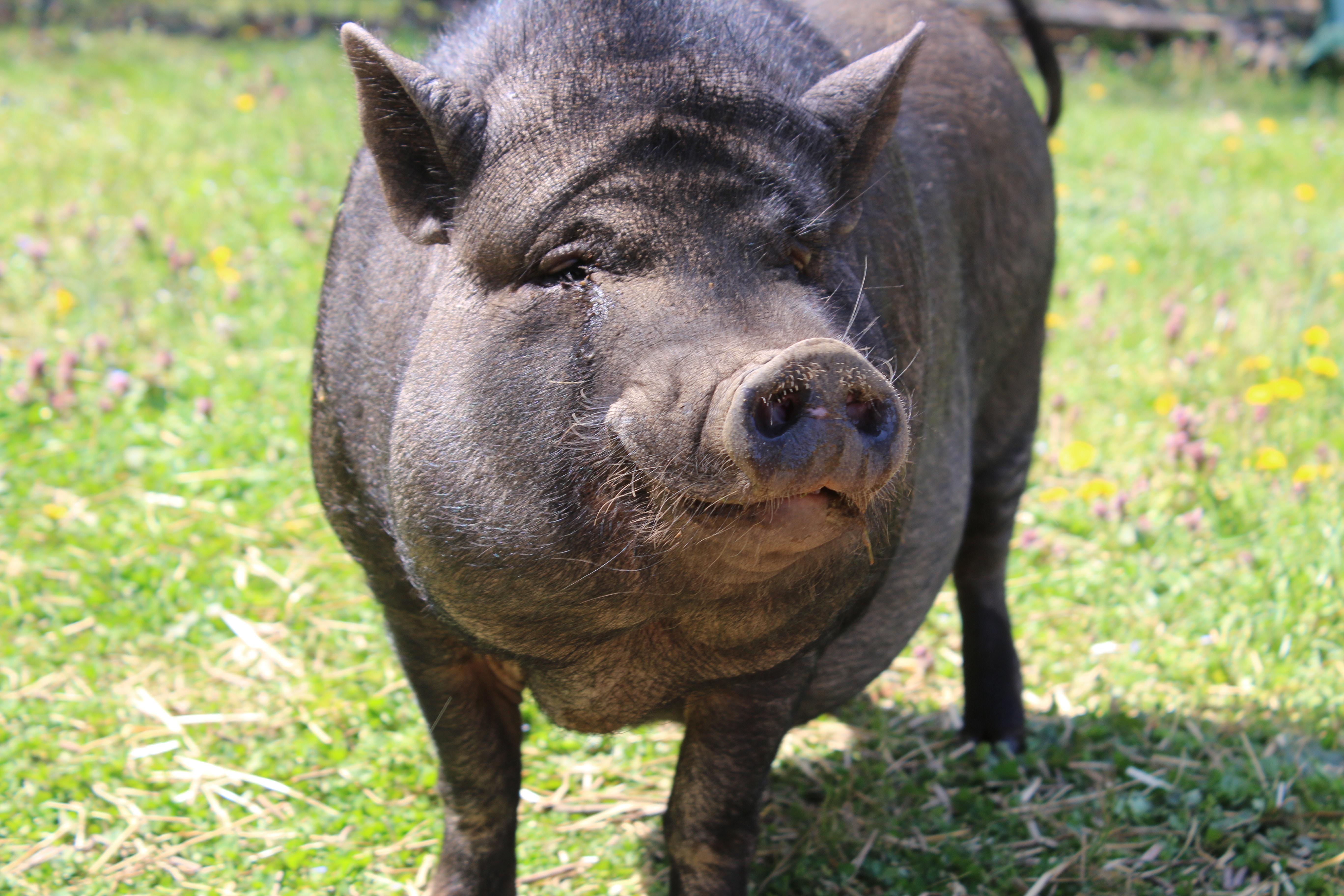 gray boar