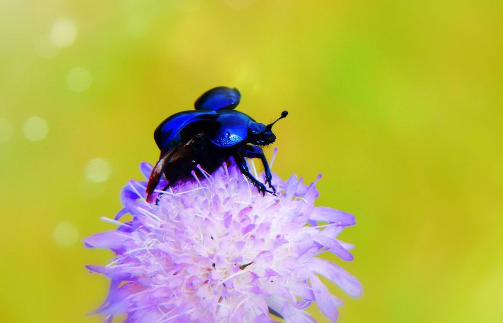 blue beetle perching on purple flower