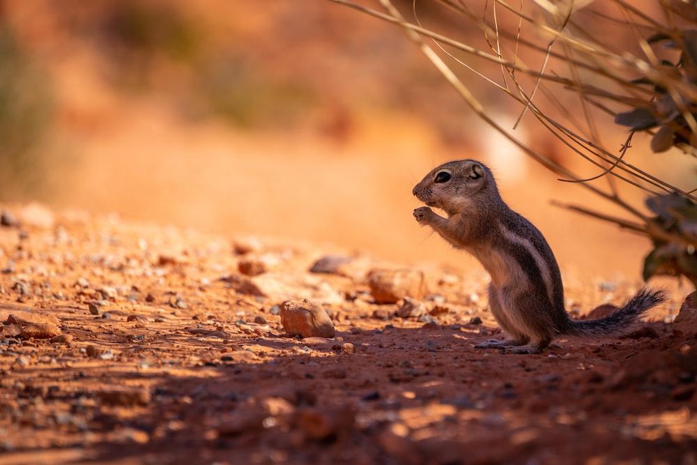 brown squirrel standing outdoor