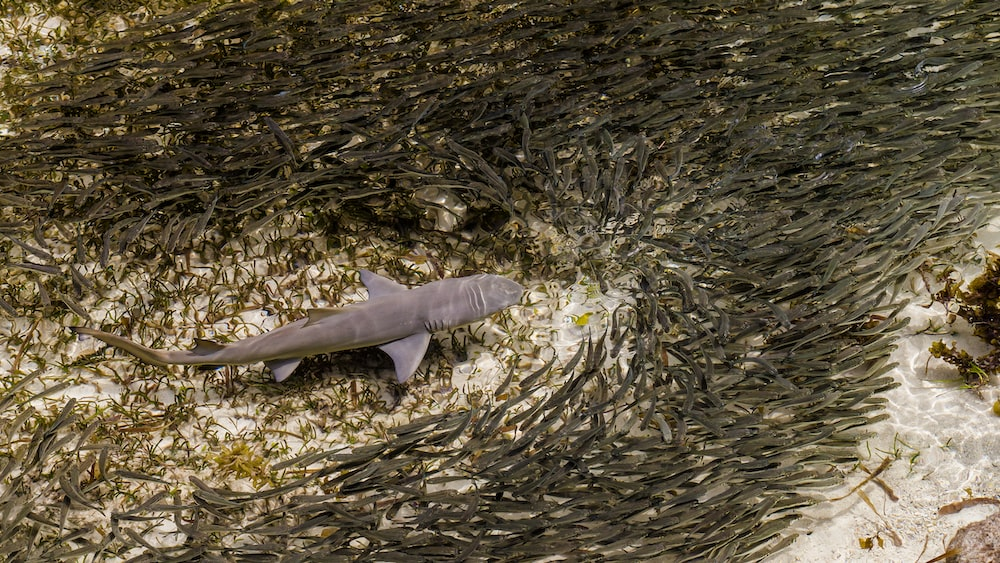 shark surrounded by school of fish