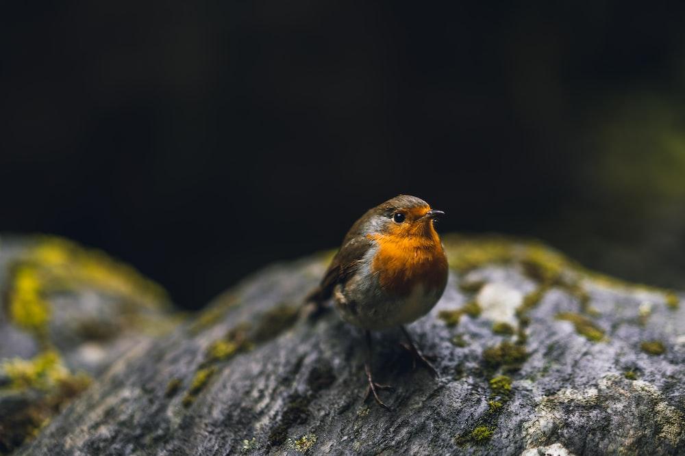 selective focus photography of European robin