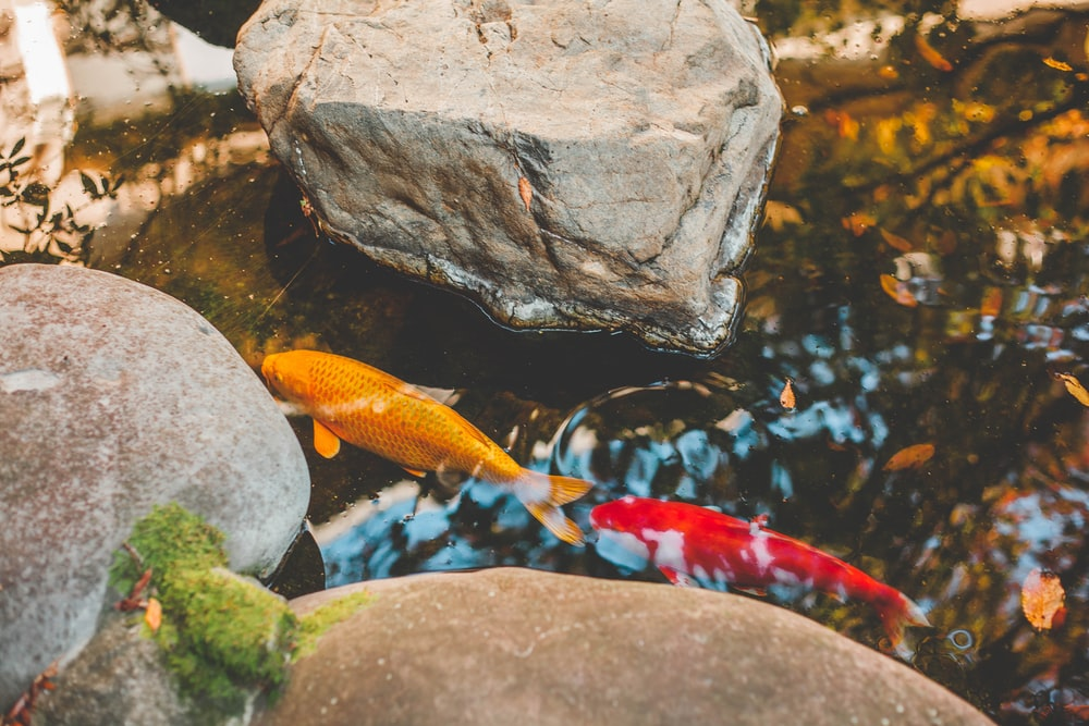 two orange and yellow fish in water beside rocks