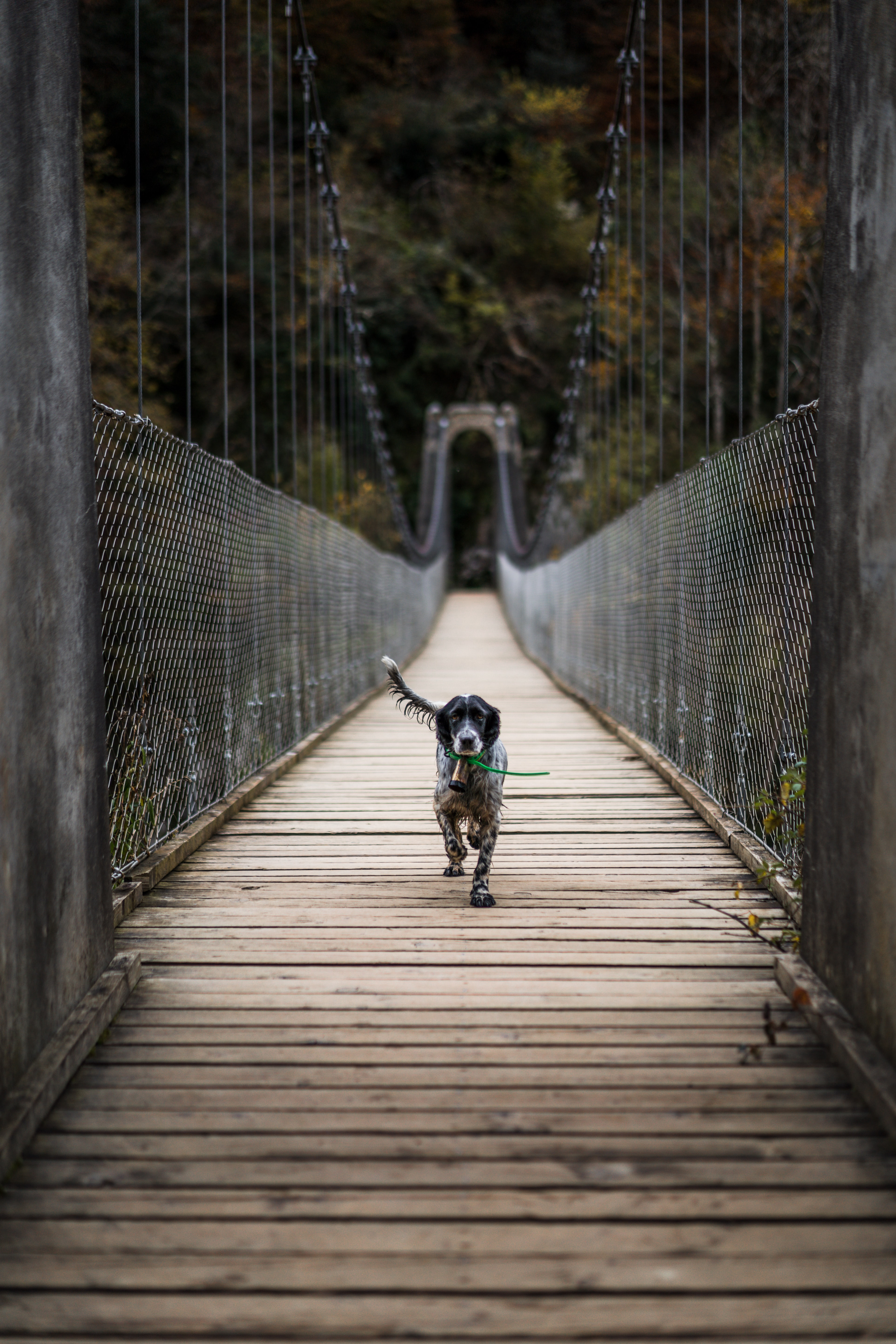 adult English setter cross wooden hanging bridge during daytime