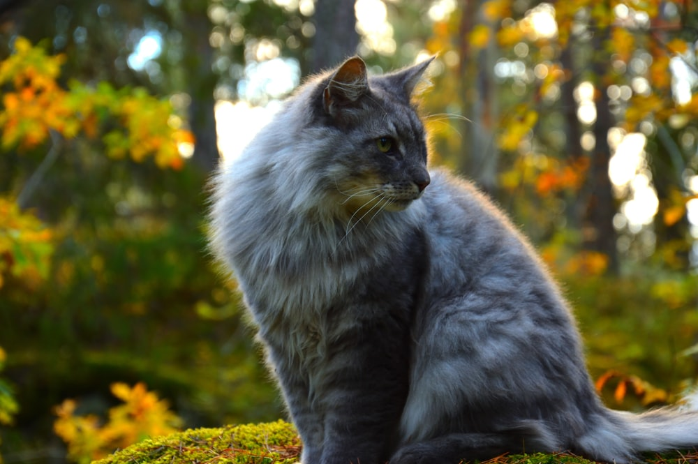 shallow focus of long-coated gray cat