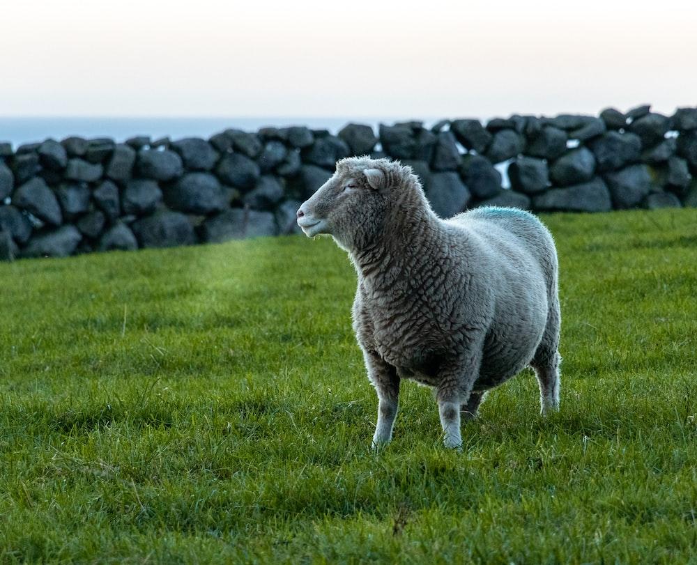 white sheep on grass field
