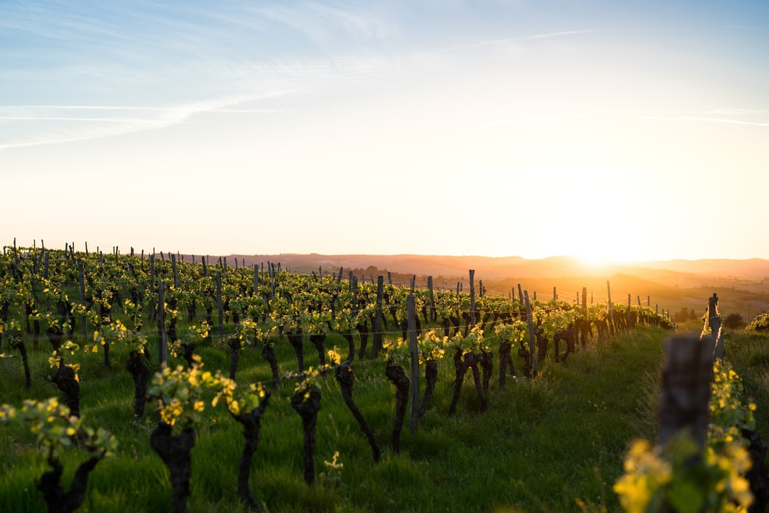 Not only do I like wine, I love vineyards as well. When the light turns gold you just have to get out at take photos like these.