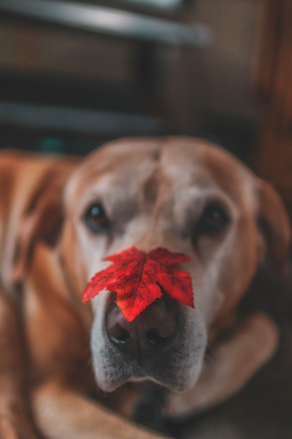 yellow labrador retriver with maple leaf on nose