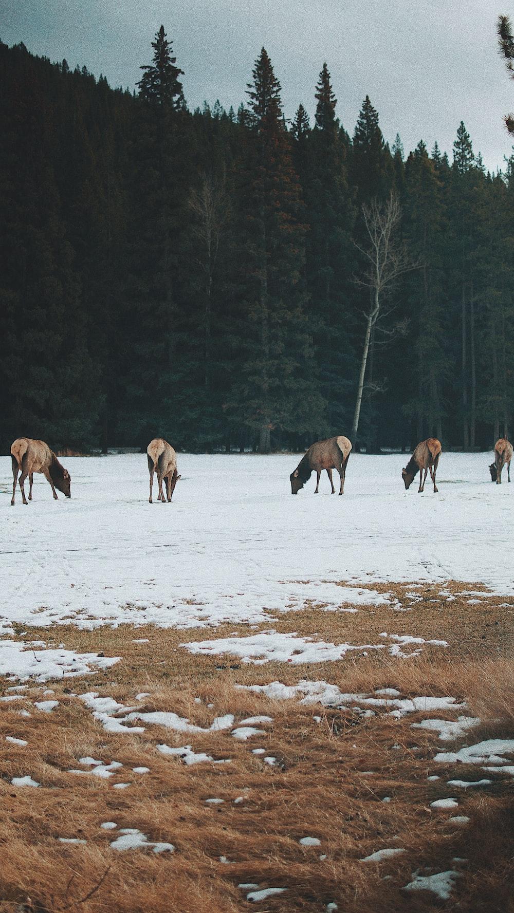five brown horses