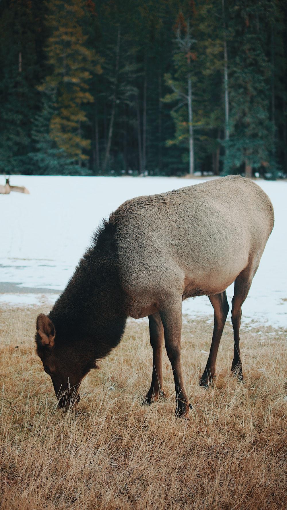 gray animal eating grass