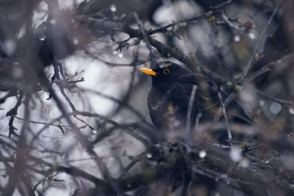 close-up photography of black bird on branches