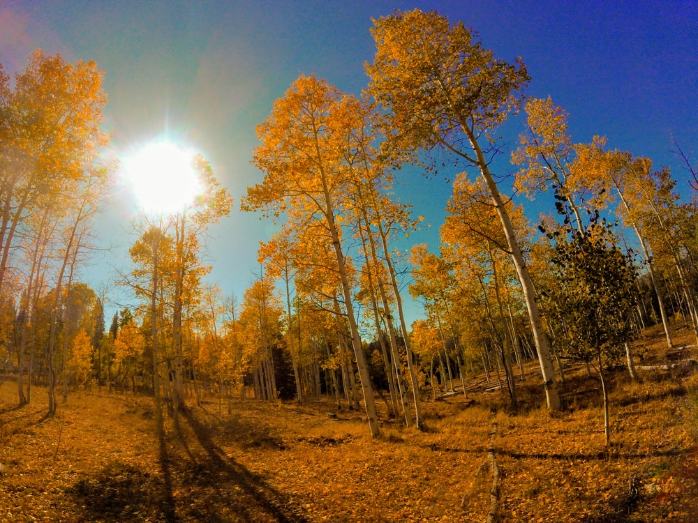 panoramic photo of yellow trees