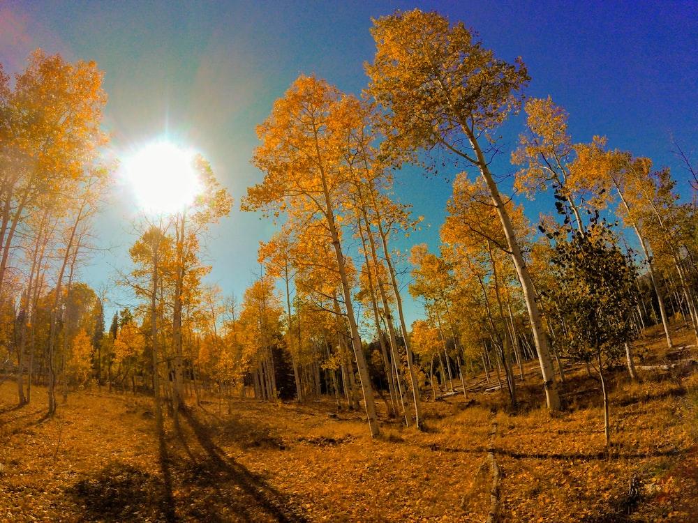 panoramic photo of yellow trees