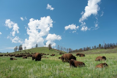 herd of yak on grass field under the heat of the sun bison zoom background