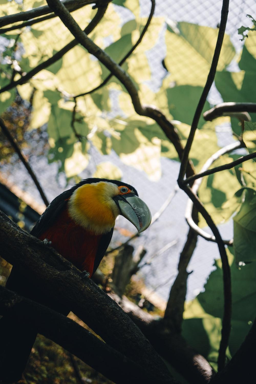 orange, black, and yellow large-beaked bird