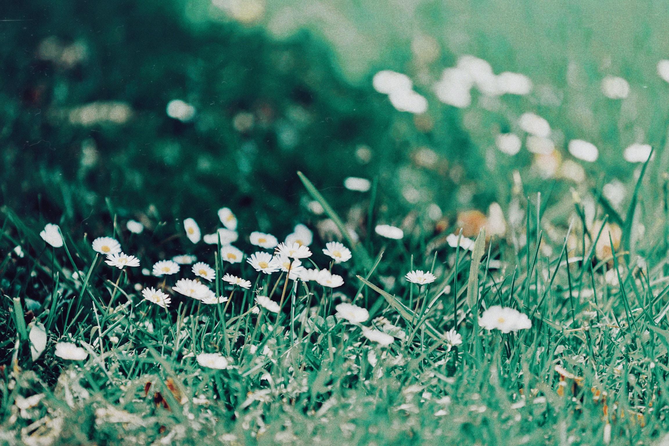 Dasiy flower on grass