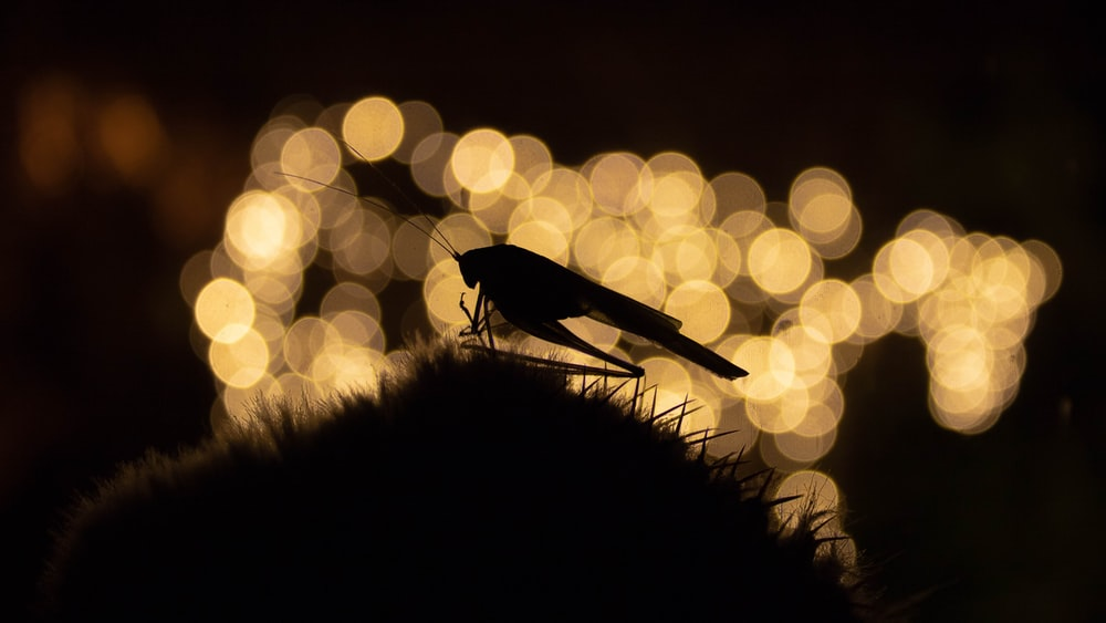 silhouette of grasshopper