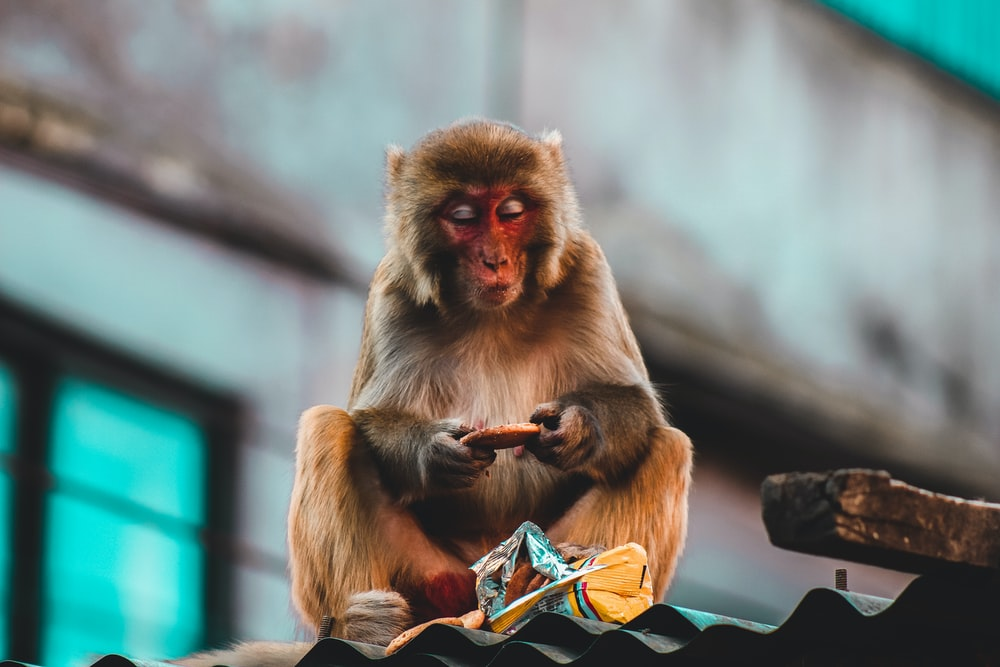 Japanese macaque on roof eating biscuits
