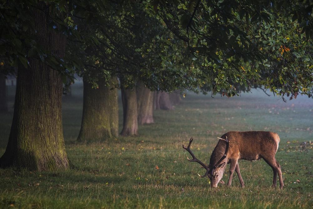 gazelle under the tree