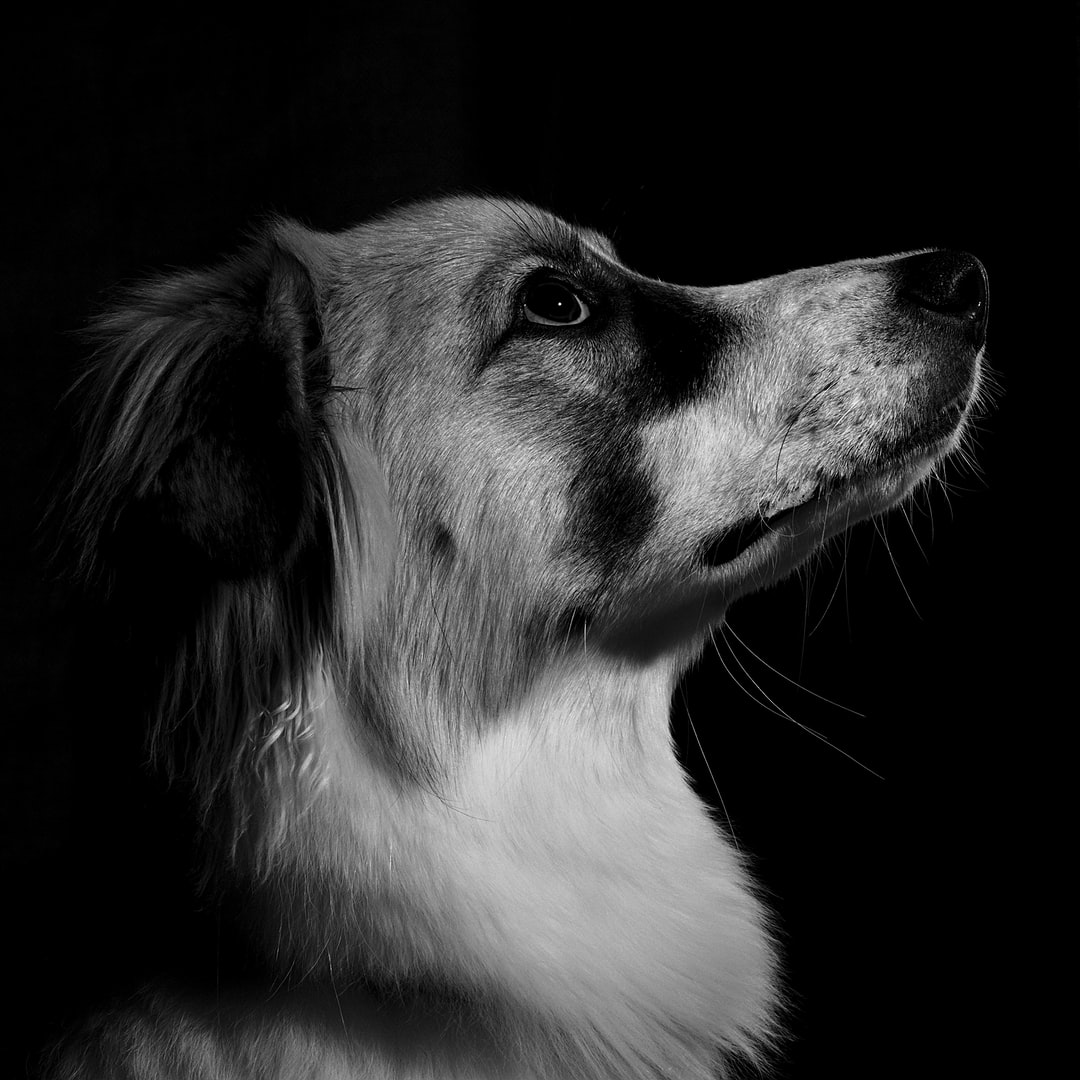 Attempting to do some B&W pet portraiture.  Pup was focused on the treat!  She's a mixed breed rescue from the ASPCA.  (And yes, she's very sweet!)