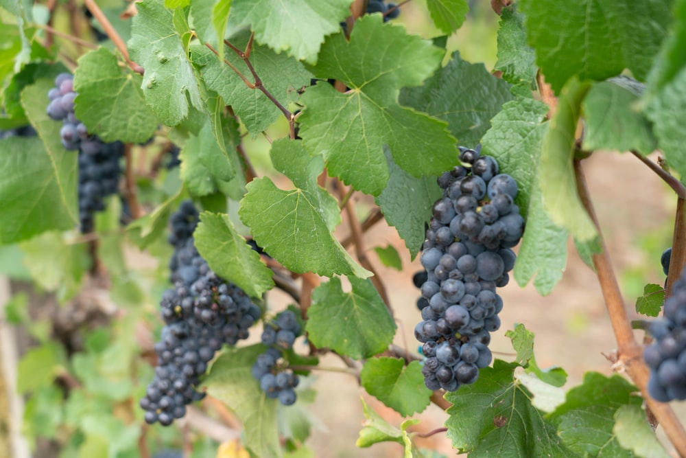 bunch of purple grapes hanging from plant