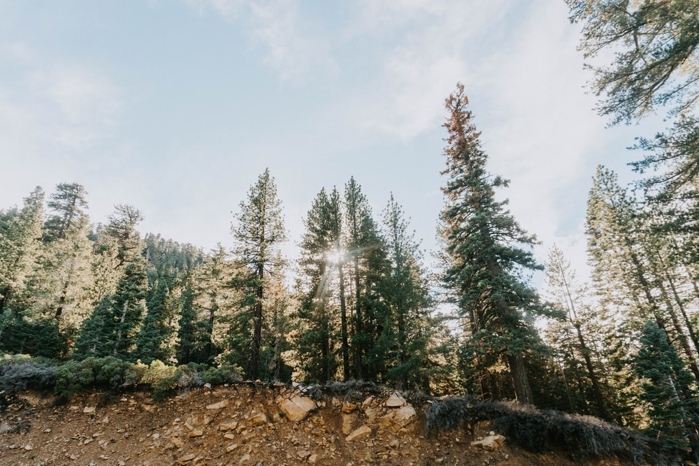 pine trees under white sky during daytime