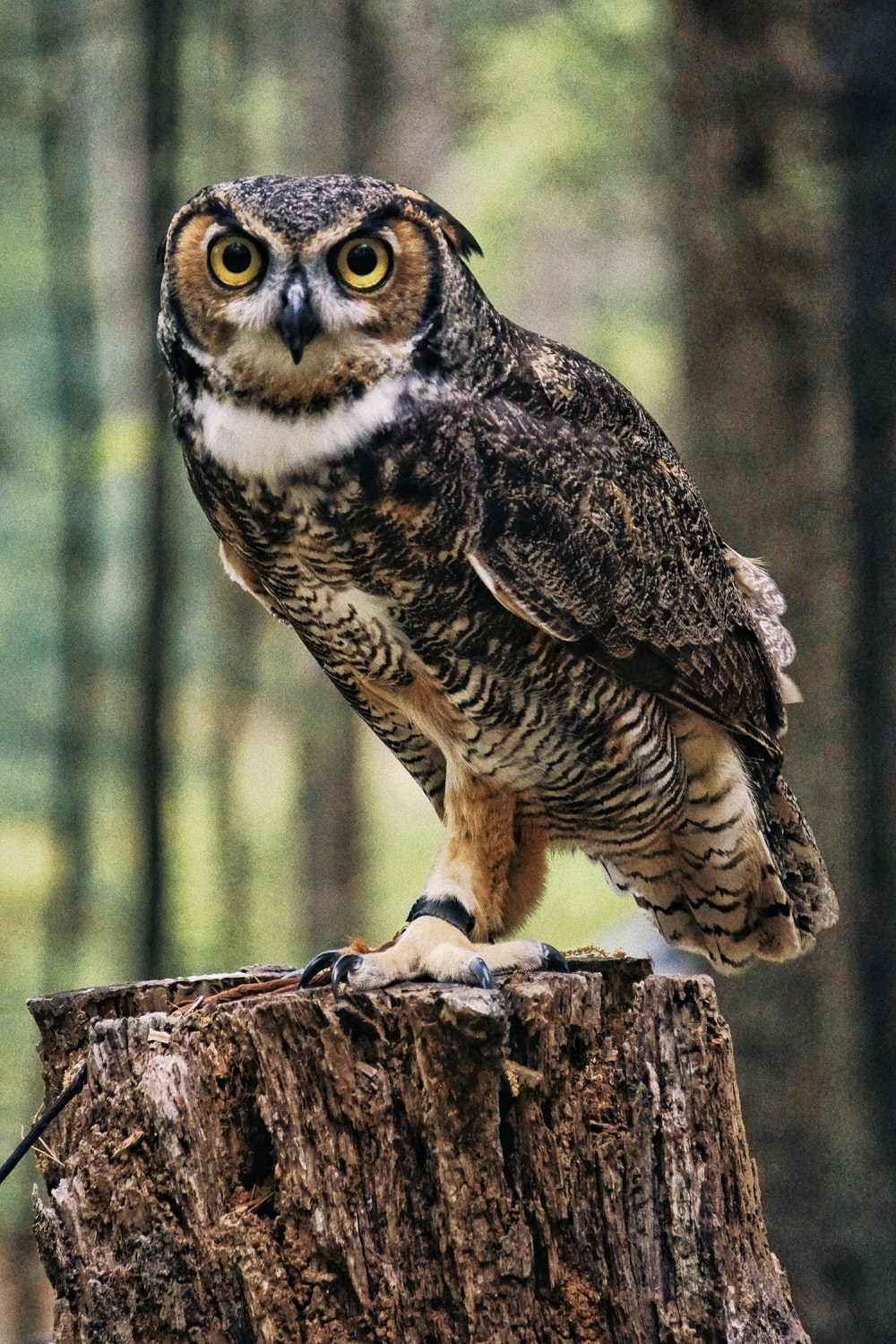 black and brown owl
