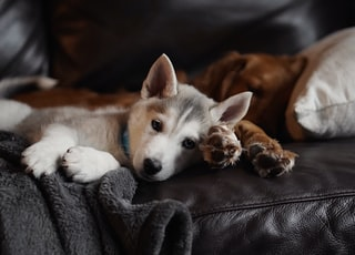 selective focus photography of white and grey puppy lying on sofa