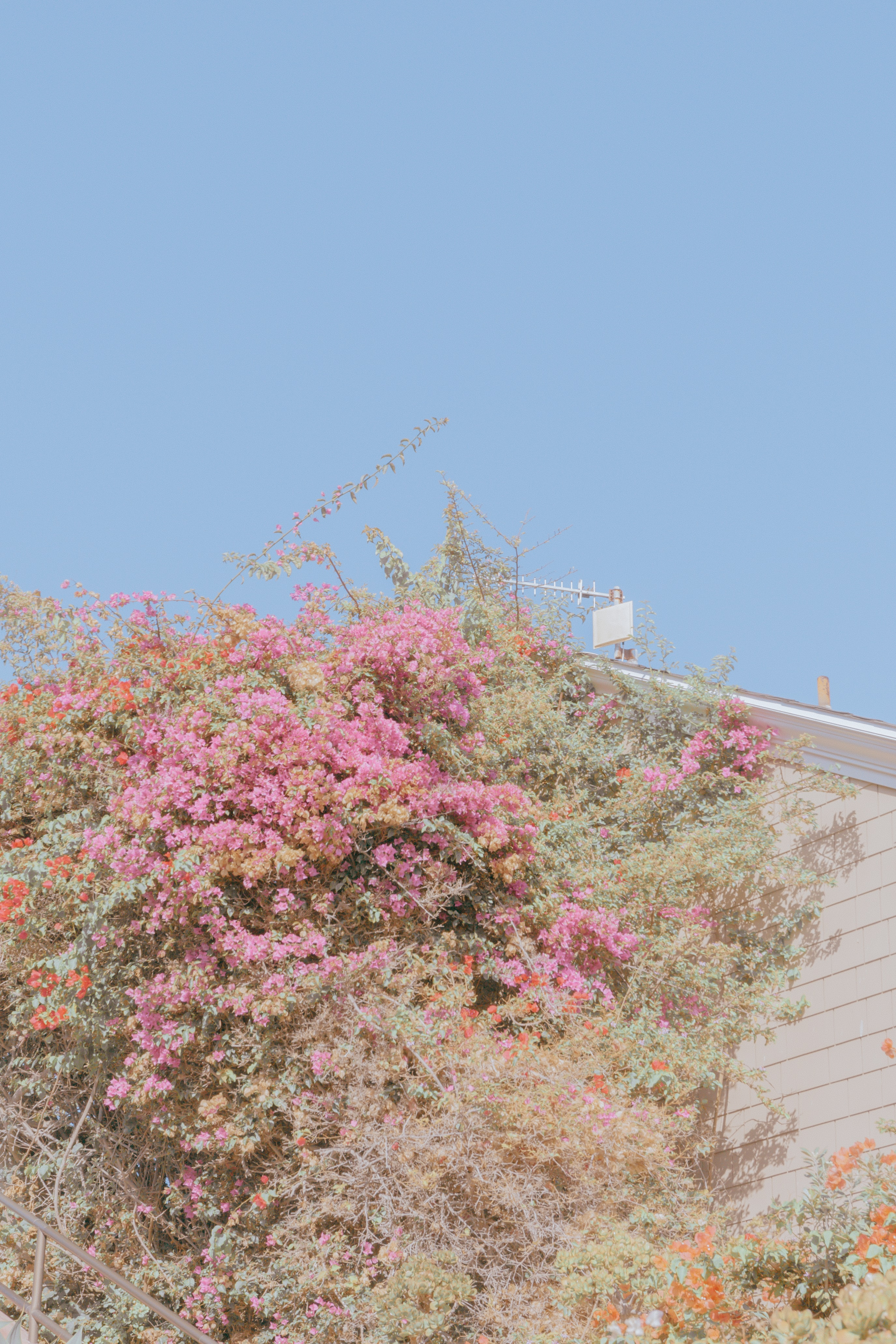 pink bougainvillea flowers in bloom during daytime