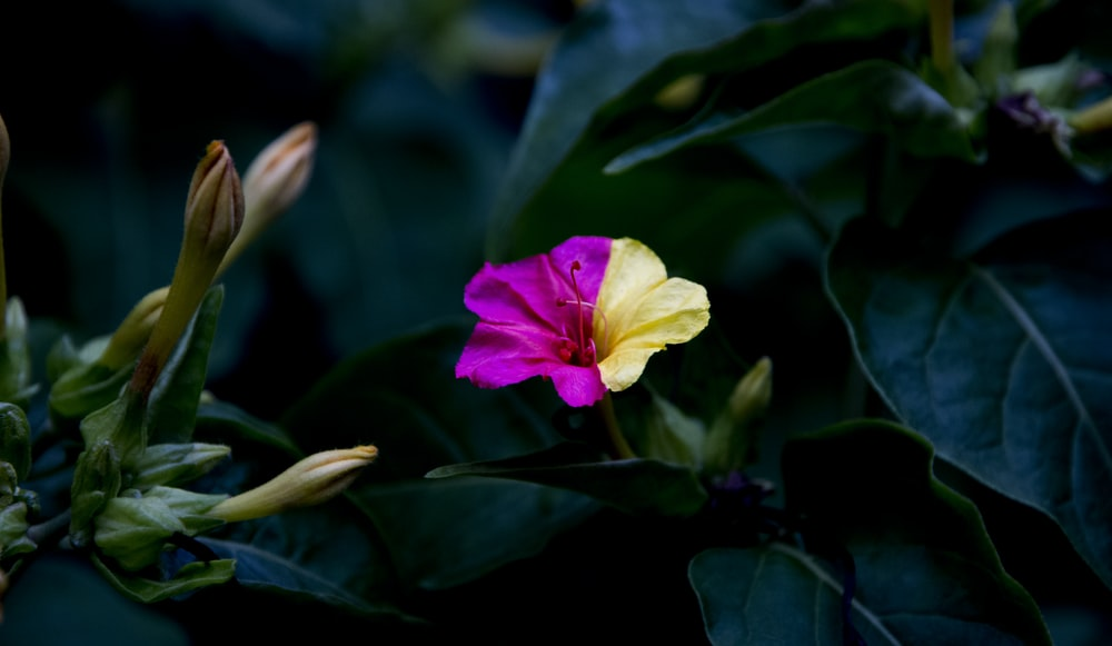 selective focus photography of pink and yellow petaled flower